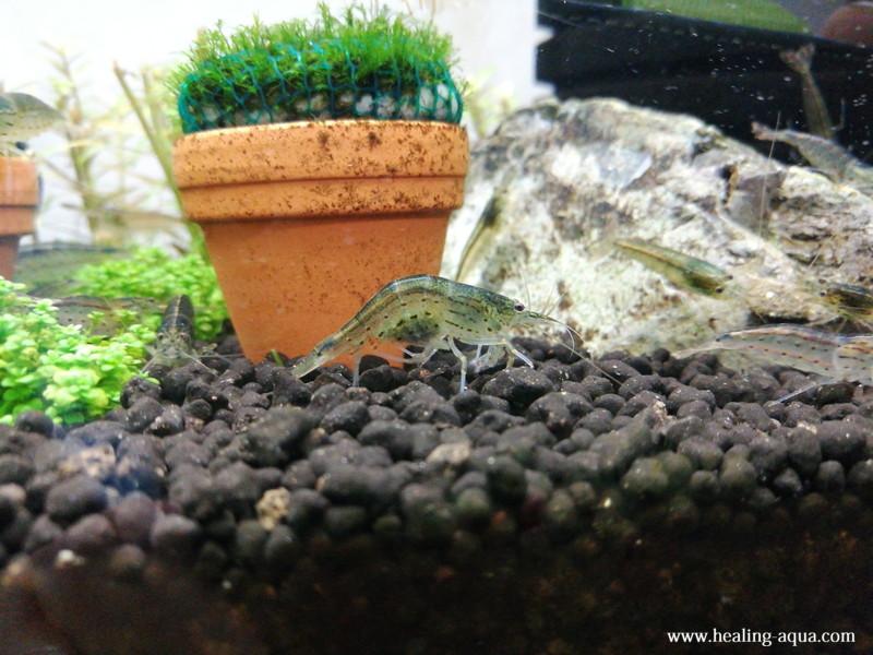 台湾ヤマトヌマエビの抱卵個体
