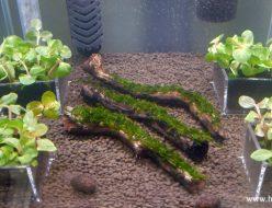 水槽へ導入したロタラ各種とフレームモス付き流木