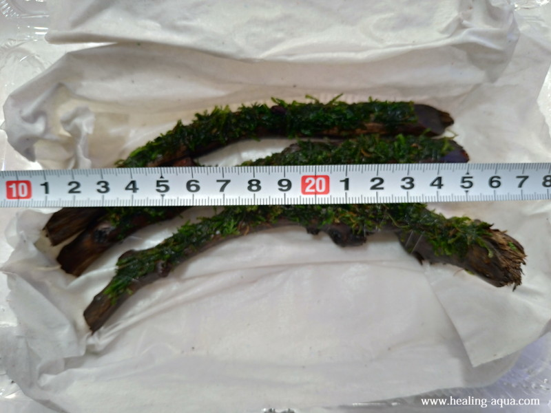 フレームモス付きスティック流木のおおよその長さ