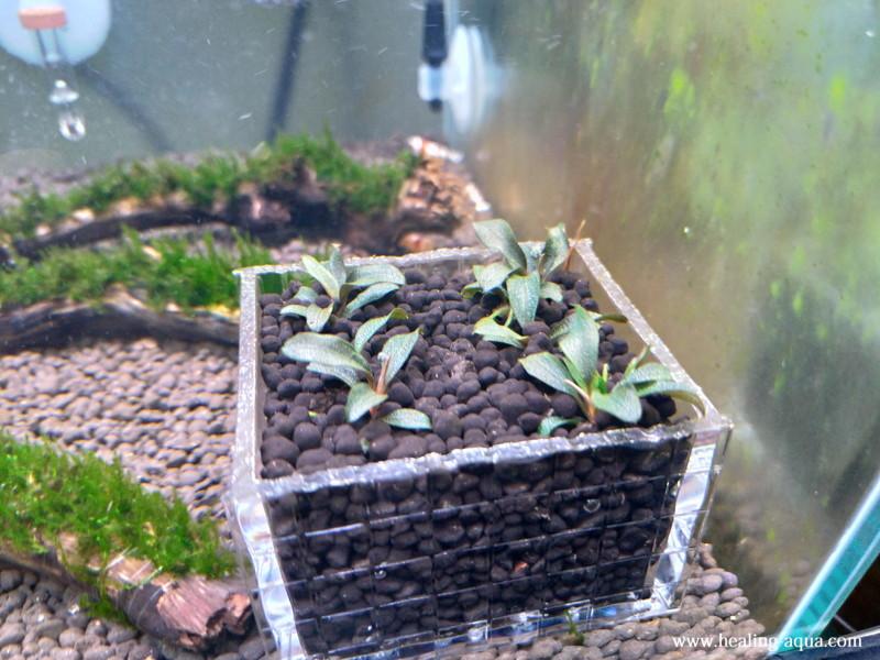 12日後のソイルに植えたブセファランドラsp.Red