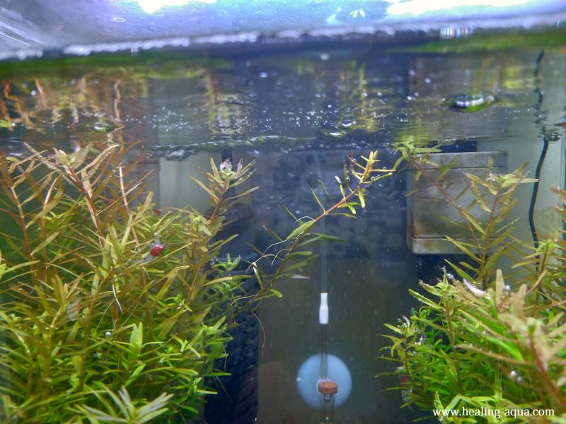 30cmキューブ水槽[2]水面近くまで伸びたロタラ各種